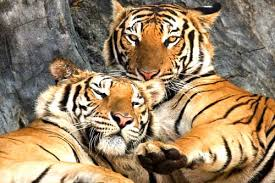 タイガーテンプル閉鎖後はパタヤ近郊のシーラチャー虎動物園へ!