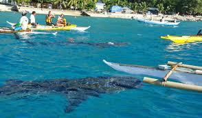 セブ島のオスロブでジンベイザメ