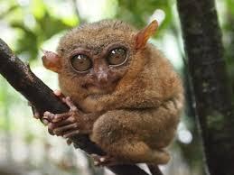フィリピンのボホール島に生息する世界最小の猿ターシャ