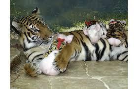 仲良し虎と子豚