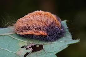 強い毒を持つ蛾の幼虫ボリビアバグ