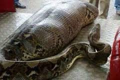 インドで起こったヘビが人間を丸呑みした事件