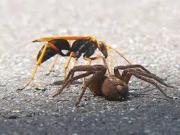 タランチュラに産卵するオオベッコウバチ