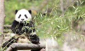 チェンマイ動物園で人気のジャイアント・パンダ