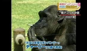 南アフリカのタバコを吸って人気だったチンパンジーのチャーリー